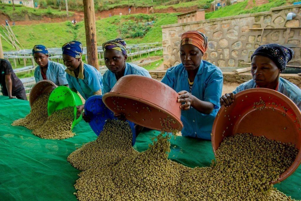 Zpracování kávy a kontrola kvality ve Rwandě