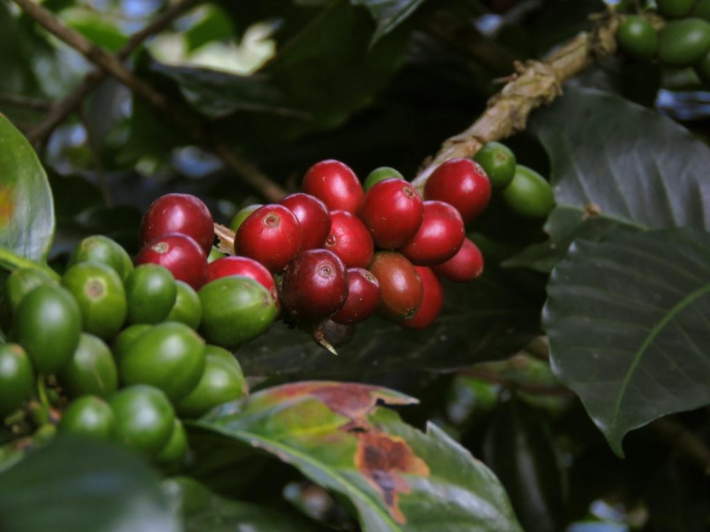 červené zralé a zelené nezralé třešně kávovníku