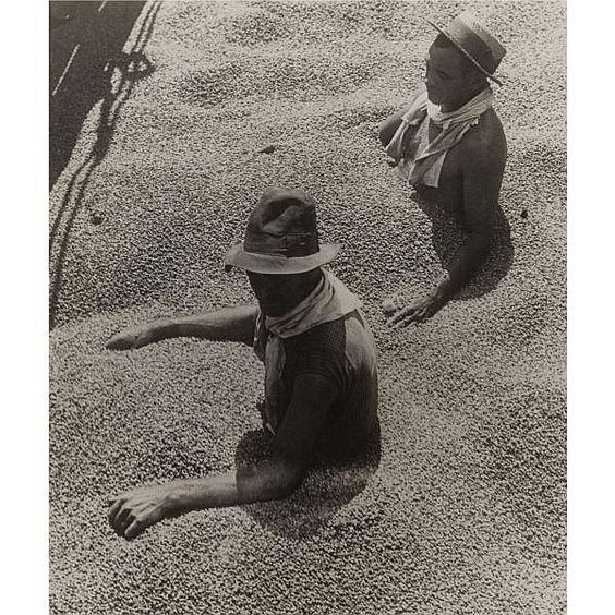 Kávoví dělníci v Brazílii