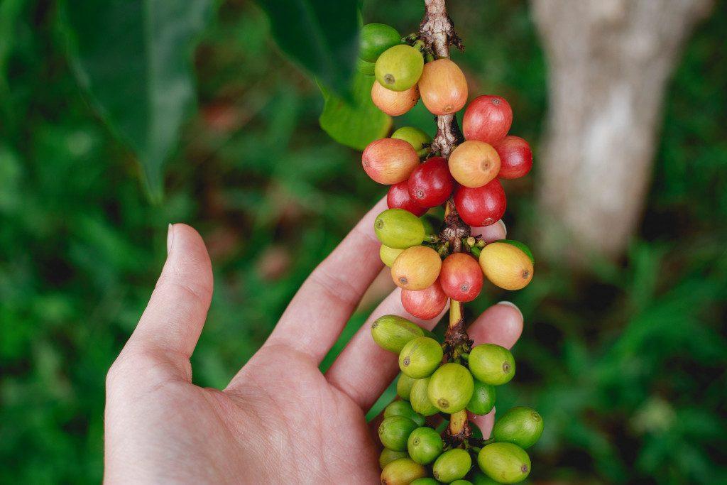 zralé a nezralé plody kávovníku