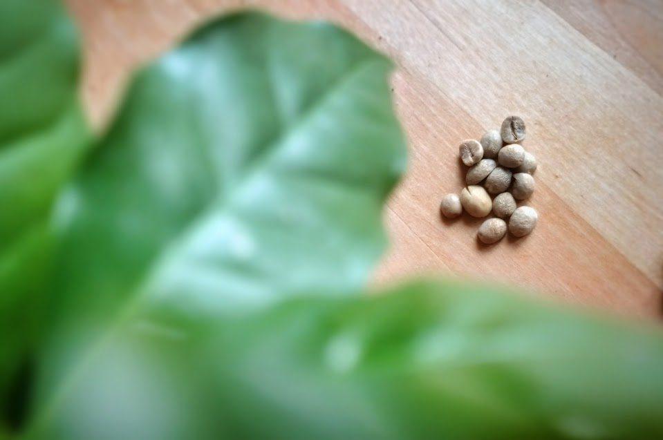 kávovník a nepražená zrna zelené kávy