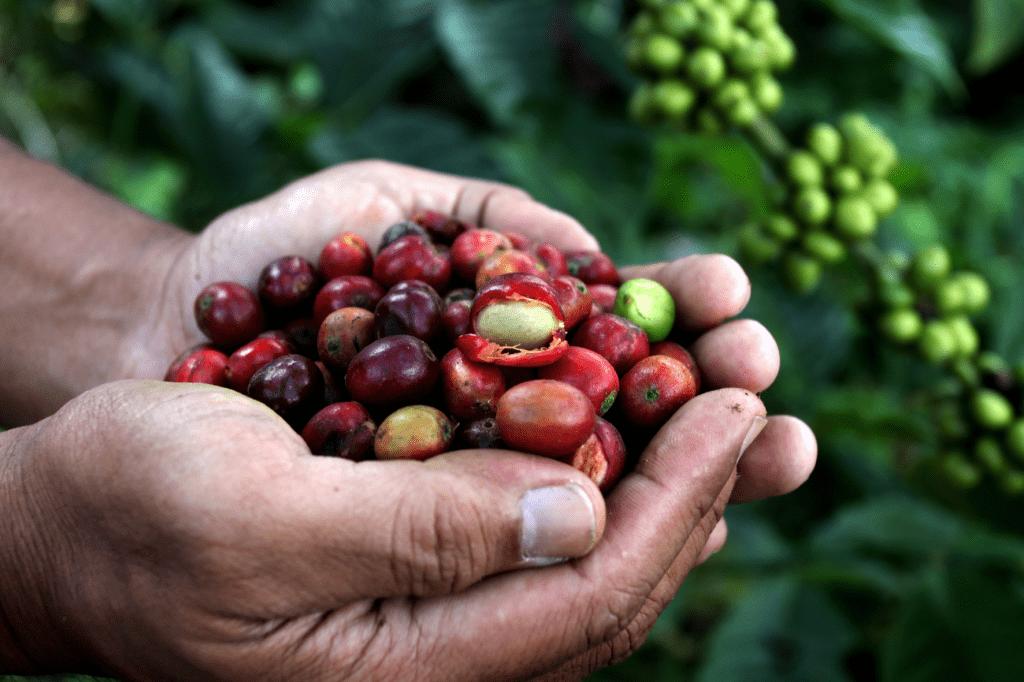 kávové třešně