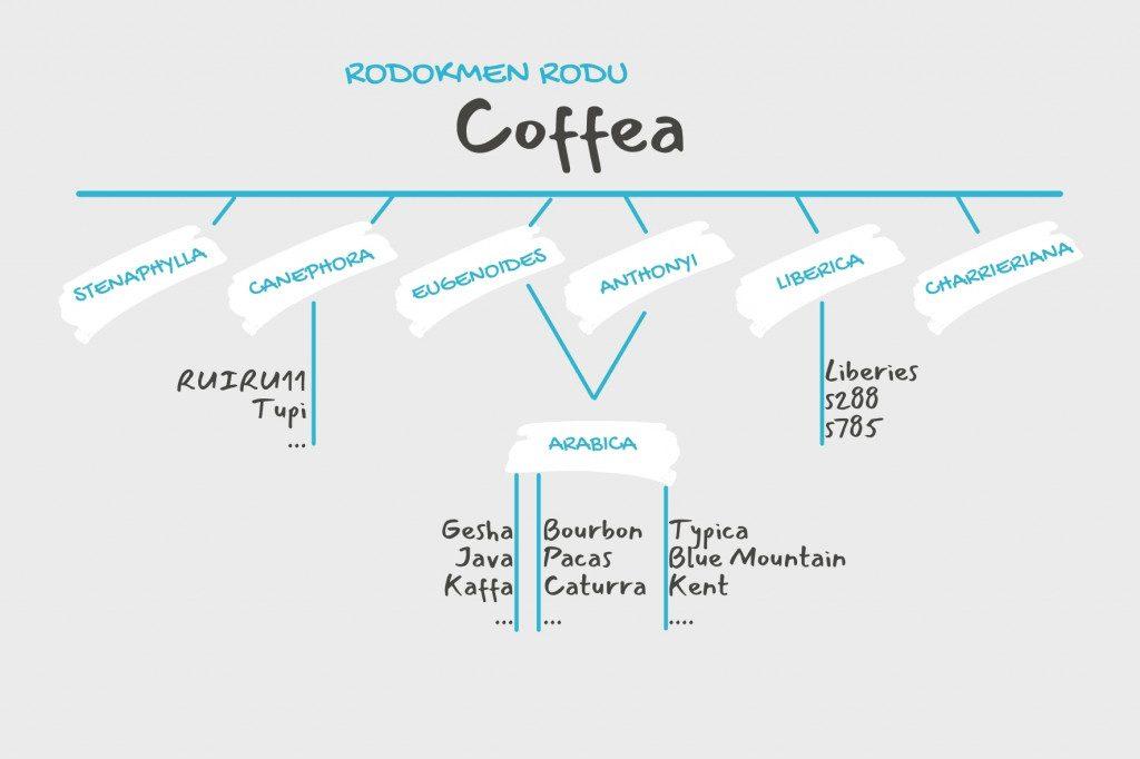 Rodokmen kávovníku - odrůdy kávy