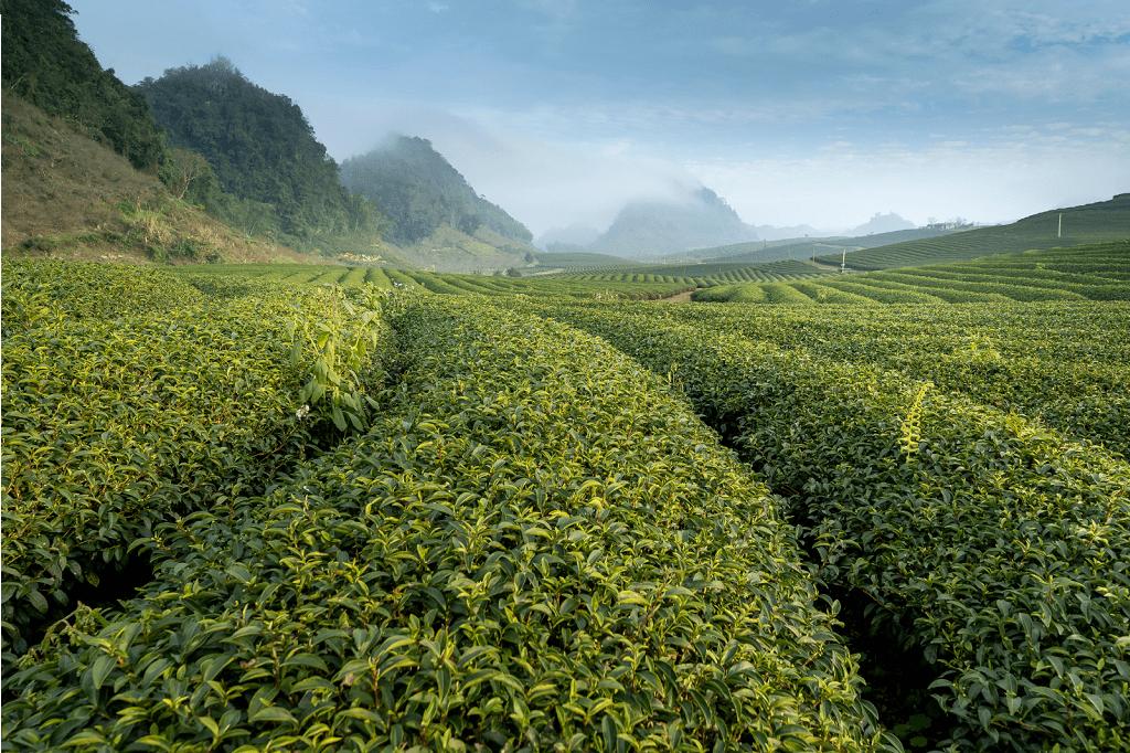 Plantáž kávovníků v horách