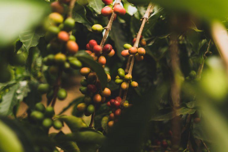 červené bobule kávovníku arabiky