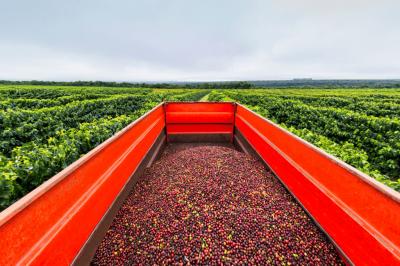 odvoz kávových třešní z velkých brazilských plantáží kávy