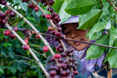 zralé kávové třešně z čínských plantáží