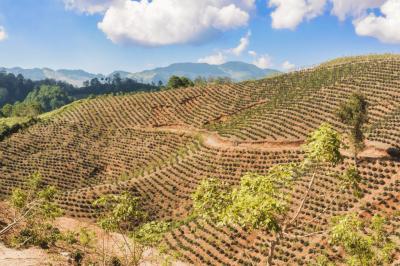 nové kávové pole v hondurasu
