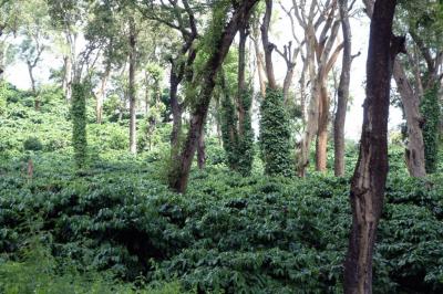 pěstování kávy ve stínu stromů v indii