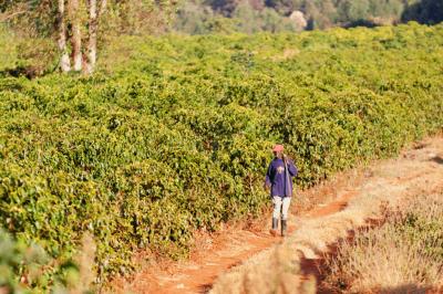 kávová plantáž v keni