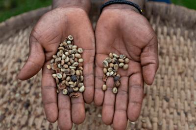 ugandská kávová zrna robusty v rukou farmáře